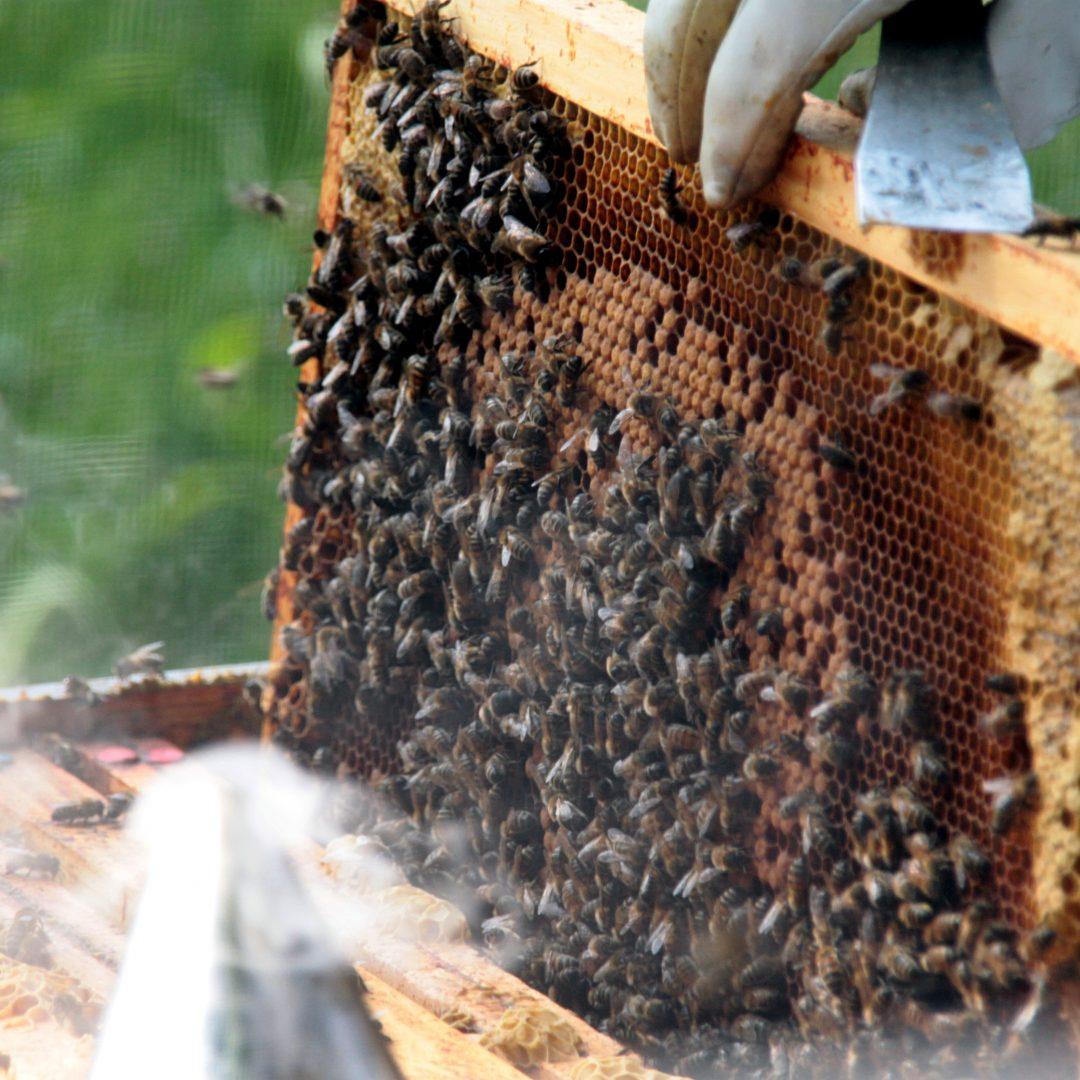 Un cadre plein d'abeilles